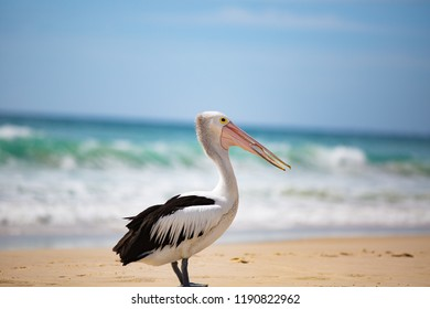 4 of 4 Australian pelican (Pelecanus conspicillatus) was waiting near a fisherman and succeeded in getting a reward of a fish... although it took some effort to swallow :-) Gold Coast, Australia