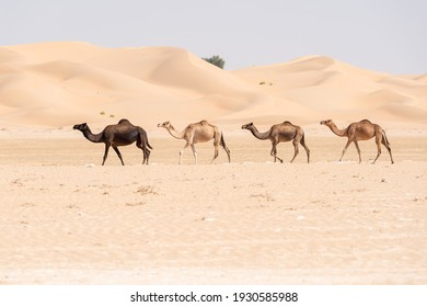 4 camels walking free in a row in the Abu Dhabi desert with beautiful sand dunes in the background