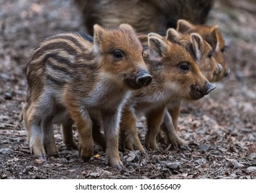 4 cute piglets strung together. Baby pigs in cute posture