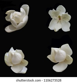 4 different large white Magnolia blossoms set on a dramatic black background