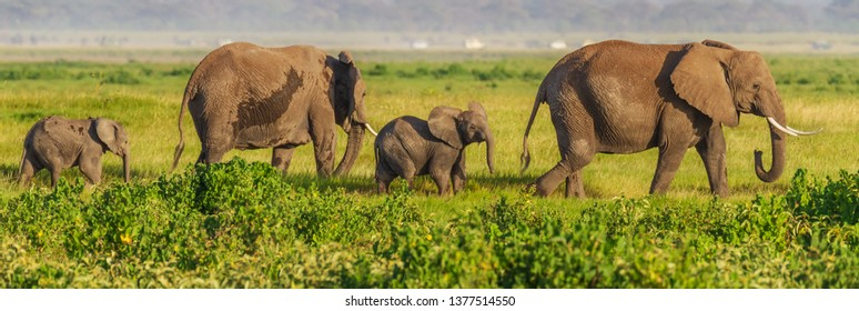 4 four elephants Loxodonta africana cross grassland with small calf flapping ears out in Amboseli National Park Kenya East Africa