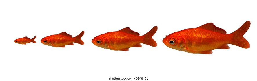 4 Goldfishes of 4 different sizes (25%,50%75%,100%)