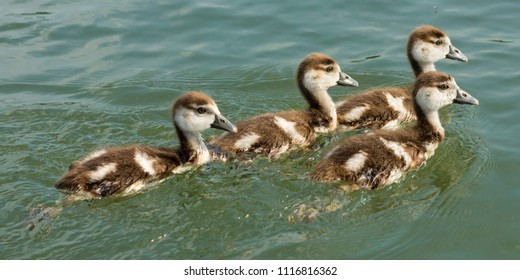 4 juvenile egyptian goose swimming on a river