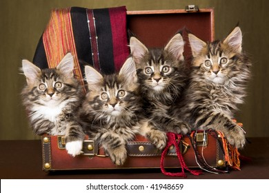 4 Maine Coon kittens inside brown suitcase