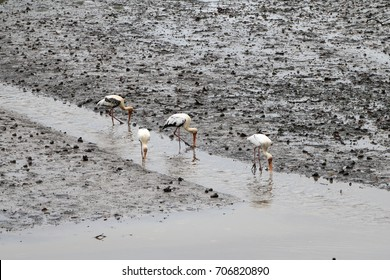 4 milky storks, an endangered species,  hunting for food in the stream of a mud flat in Sungei Buloh Nature Reserve, after rain, in Singapore