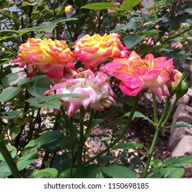 4 Miniature Rainbow's End Roses, Side View: These beautiful roses change color as they open, from yellow to orange to pink to white.