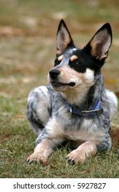 4 month old female Blue Heeler pup
