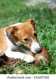 4 months young Jack Russel terrier puppy white and brown playing on a green grass area with a dry coconut