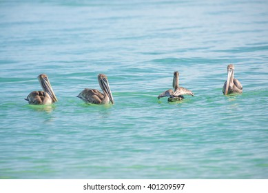 4 Pelicans in the Gulf of Mexico water waiting to spot a fish for dinner