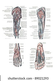 4 Views of the human foot and leg from  An atlas of human anatomy:  Carl Toldt - 1904