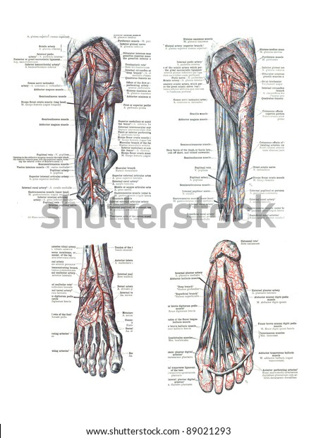 4 Views Human Foot Leg Atlas Stock Photo (Edit Now) 89021293