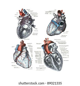 4 Views of the human heart  from  An atlas of human anatomy: Carl Toldt - 1904 ..