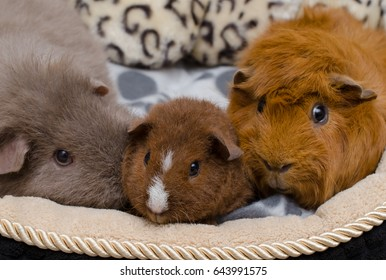 4 weeks old baby guinea pig (US-Teddy) with friends