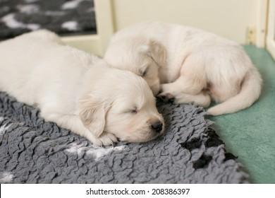 4 weeks old golden retriever puppy's sleeping