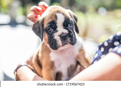 4 weeks young purebred golden puppy german boxer dog in Womans arm