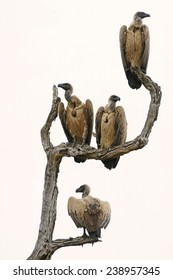 4 white backed vultures in tree