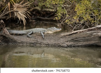 4-5 ft American alligator (alligatoridae mississippiensis) resting on a log in the swamps of Louisiana.