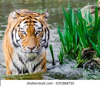 4k hd wallpaper beautiful tiger