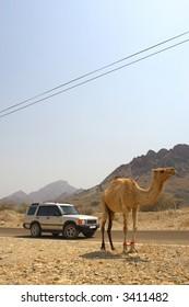 4x4 vehicle with camel, Dubai, UAE