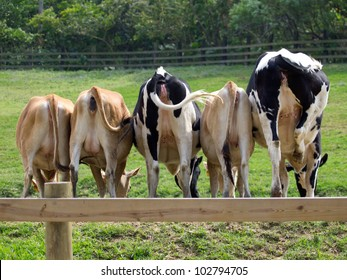 5 cows on the grassland of a ranch and showing their butts to the camera.