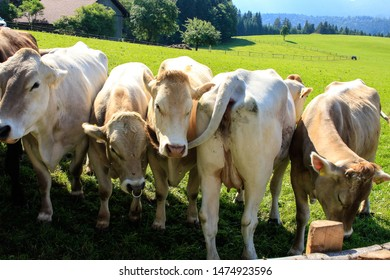 5 cows - one is different
