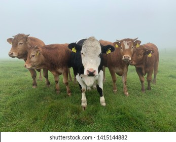 5 cows posing for pictures