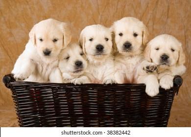5 cute Golden Retriever puppies in wicker basket