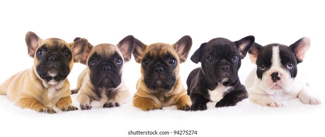 5 French Bulldog puppies in a row isolated on white
