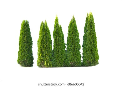 5 high Cypress isolated on a white background