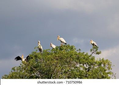 5 milky storks standing atop mangrove trees in Sungei Buloh nature reserve, Singapore, under dark sky, with one spreading its wings