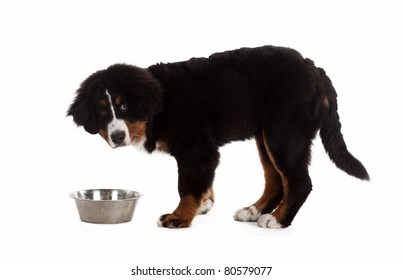 5 month old bernese mountain dog eating from a bowl in studio, on white isolated