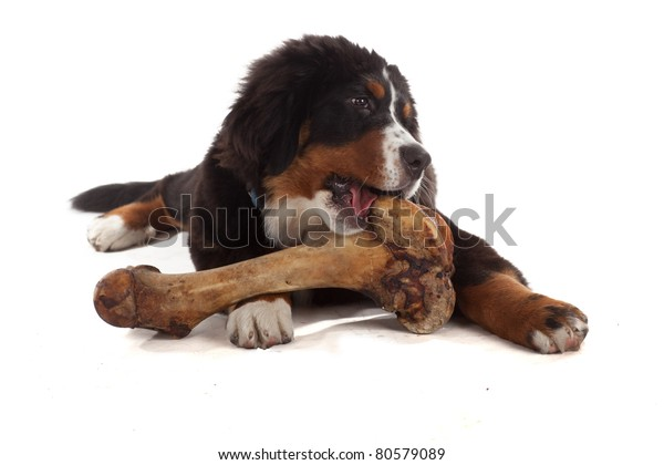 5 Month Old Bernese Mountain Dog Stock Photo Edit Now 80579089