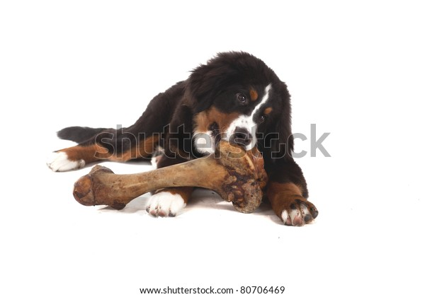 5 Month Old Bernese Mountain Dog Stock Photo Edit Now 80706469