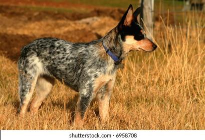 5 month old female Blue Heeler Pup
