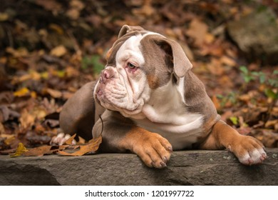 A 5 month old lilac colored American Bulldog poses for photographs in the fall leaves in North Carolina, USA