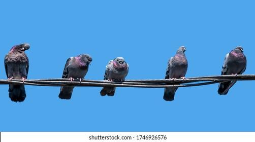 5 pigeons sitting on electric wires or cable.  Feral pigeon (Columba livia domestica) against blue sky