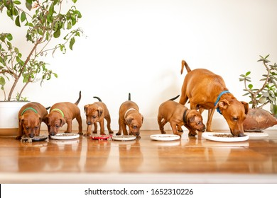 5 puppys in a line with mother eating from frisbee plates. 5 weeks old mini pinscher