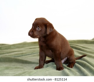 5 week old lab puppy on green blanket.