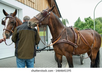A 50 year old coachman attaches 2 horses (Saxon - Thuringian Heavy Warm blood) with the drawn vehicles to the drawbar of the coach. The right horse sniffs his back.