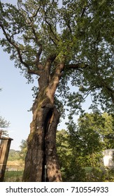 500 year old oak, which survived several lightning strikes in Jaszczurowa. Poland
