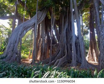 500 years old ficus tree in Puerto de la Cruz, Tenerife, Canary Islands, Spain
