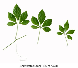 the 5-leaves ginseng plant isolated on a white background