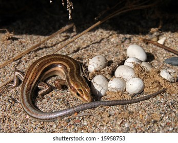 5-lined Skink with Eggs in Ontario, Canada