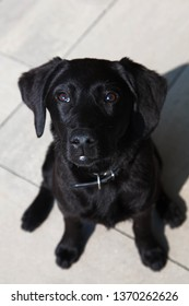 The 5-month-old puppy Labrador Retriever sits and looks into the camera from the bottom up. Black Labrador dog portrait.