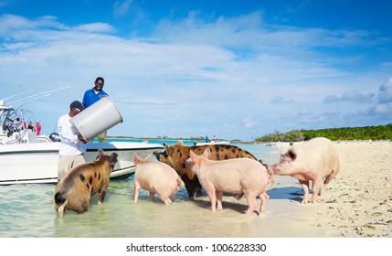 5th January 2017 - Exumas Islands, Bahamas. Locals feeding famous Exuma feral pigs on the caribbean white sand beach.