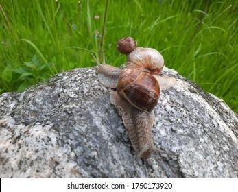 6 June 2020 Latvia Talsi Paugurciems snails on a bolder