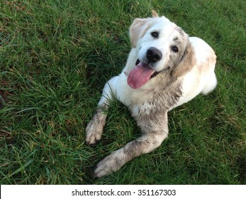 6 month old Golden Retriever dog lays on grass and is covered in mud