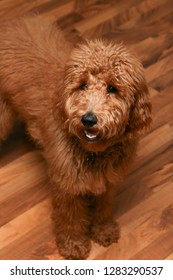 6 month old Goldendoodle puppy.