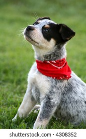 6 week old Blue Heeler puppy dog