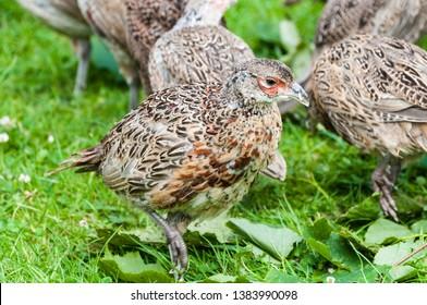 6 week old pheasant chicks at a game bird farm
